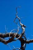 Arbre sans feuilles avec le ciel lumineux bleu Photo stock