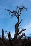Arbre sans feuilles avec le ciel lumineux bleu au fond Images libres de droits