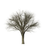 Arbre sans feuilles d'isolement sur le blanc Photos stock