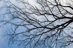 Arbre sans feuilles sur le ciel bleu Photos stock