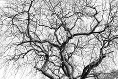 Arbre sans feuilles sur le fond blanc Image libre de droits