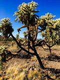 Arbre sautant de cactus Photos libres de droits