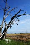 Arbre sec dans la rizière Photo libre de droits