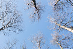 Arbre sec de fond et ciel bleu dans les forêts Photo stock