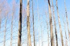 Arbre sec de fond et ciel bleu en parc Images libres de droits