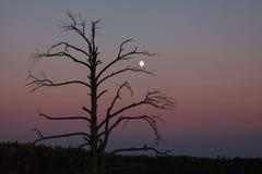 Arbre sec de silhouette avec la lune Images libres de droits