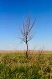 Arbre sec isolé contre le ciel bleu et Photo libre de droits