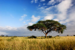 Arbre simple d'acacia dans la savane Photo stock