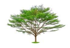 Arbre simple d'isolement, arbres noirs d'un afara, connus sous le nom d'amande, Idigbo, framire et emeri de la Côte d'Ivoire photographie stock