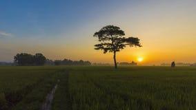 Arbre simple de mouvement de faute de lever de soleil au fil du temps avec des nuages au-dessus du gisement de riz banque de vidéos