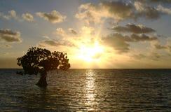 Arbre simple de palétuvier au coucher du soleil Photos stock