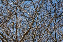 Arbre simple de Robin In Teisted Branches Of images stock