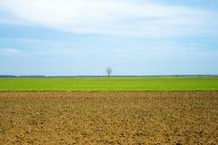 Arbre simple sur le champ de blé Image libre de droits