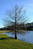 Arbre simple sur un rivage de lac Image stock