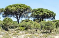 Arbre situé dans les dunes Photo libre de droits