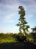 Arbre solitaire avant ciel bleu chez Chitwan Borderzone Photographie stock