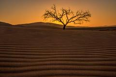 Arbre solitaire dans le désert de Namib de la Namibie Image stock