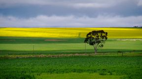 Arbre solitaire dans le paysage vert et jaune de pré de gisement de canola Photo libre de droits
