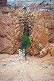 Arbre solitaire de gorge de Bryce Image libre de droits
