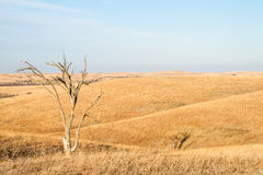 Arbre solitaire en Flint Hills du Kansas Images libres de droits