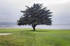 Arbre solitaire sur le terrain de golf de Pebble Beach le long de la baie de Monterey photos libres de droits