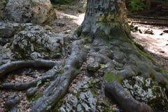 Arbre sortant d'une roche massive Photographie stock libre de droits