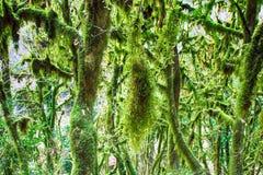 Arbre subtropical de buis de Colchis de colchica célèbre de Buxus Images libres de droits