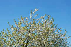 Arbre supérieur avec des fleurs Image stock
