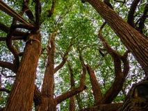 Arbre superbe dans le jardin botanique de Kandy Photos libres de droits