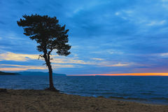 Arbre sur la côte arénacée du lac Baïkal Russie Photos libres de droits