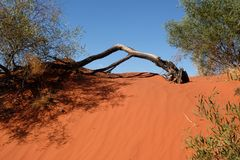 Arbre sur la dune de sable rouge photo libre de droits