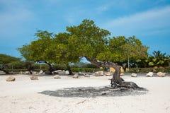Arbre sur la plage dans Aruba Images libres de droits