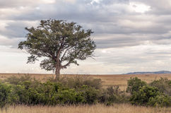Arbre sur la savane africaine Photos libres de droits