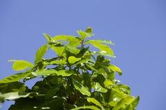 Arbre sur le ciel bleu Photographie stock libre de droits