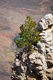Arbre sur le rebord de roche de Grand Canyon Photo libre de droits