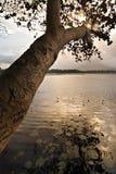 Arbre sur un lac Photos libres de droits