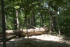 Arbre tombé dans la clairière de forêt Photos libres de droits