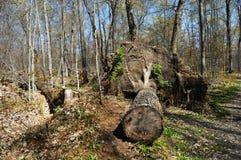Arbre tombé dans la forêt images libres de droits