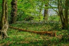 Arbre tombé dans le bois de jacinthe des bois Image libre de droits