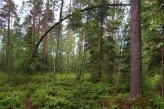 Arbre tordu dans une forêt de pin, beaucoup de verdure au sol, troncs droits d'autres pins, été Images stock