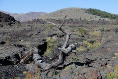 Arbre triple de torsion - cratères de la lune, Idaho Etats-Unis Image libre de droits