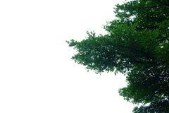 Arbre tropical avec des branches de feuilles sur le fond d'isolement blanc image stock