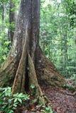 Arbre tropical dans la jungle Photos libres de droits