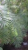 Arbre tropical 'insignis de Pachira' Photos libres de droits