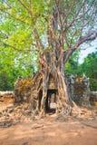 Arbre tropical sur le som de ventres, Angkor Vat dans Siem Reap, Cambodge Photos libres de droits