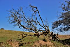 Arbre Twisty Photos stock