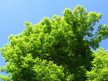 Arbre vert à feuilles caduques Photo libre de droits