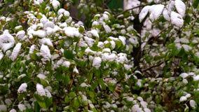 Arbre vert avec des feuilles sous la neige blanche Photographie stock libre de droits