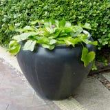 Arbre vert dans le pot Photos stock