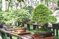 Arbre vert de bonsaïs à une plante en pot photo libre de droits